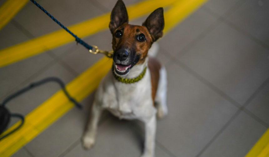 A szolgálati kutya hű társ! – Az állatok világnapja alkalmából bemutatkozik Legó, a magyar büntetés-végrehajtás legkisebb szolgálati kutyája